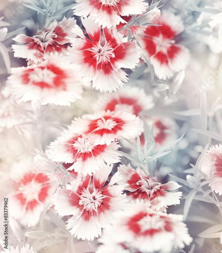 Doppelrollo mit Motiv - Carnation Flowers Background