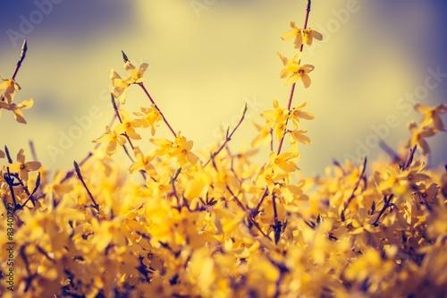 Fotografía Vintage photo of blooming forsythia