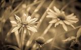 Sepia tone echinacea flowers