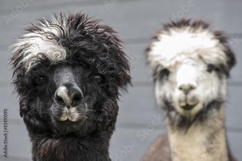 Staande foto Lama Two Alpacas
