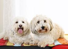 Two Coton De Tulear Dogs