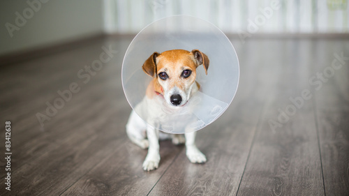 Fényképezés  Small dog Jack Russell terrier with vet Elizabethan collar