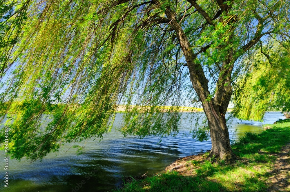 Fototapeta Weeping willow by the lake