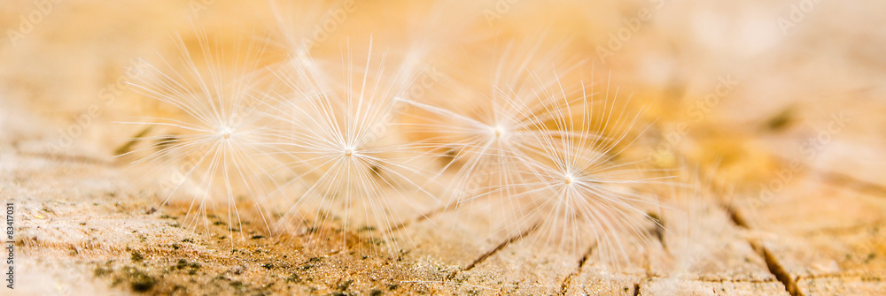 Fototapety, obrazy: white dandelion seeds on wooden background