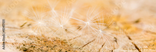white dandelion seeds on wooden background