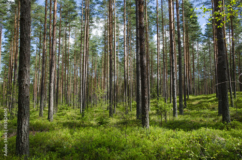 Wall Murals Forest Spring colors in a coniferous forest