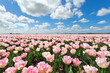 pink tulip field and blue sky