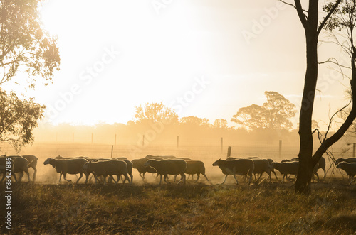 Spoed Fotobehang Schapen Sheep walk along fence at sunset