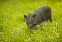 Small Vietnamese Pig On The Green Grass