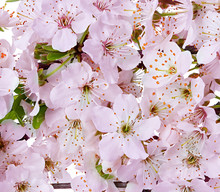 Flowering Apple Blossom Branches