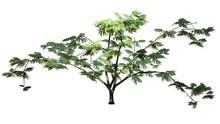 Mimosa Tree - Isolated On White Background
