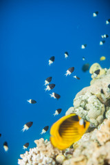Shoal of Chromis dimidiata