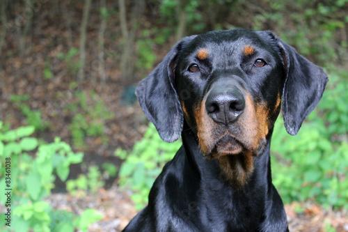 Photo black and brown doberman