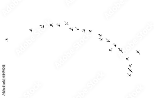 Photo flock of birds on a white background