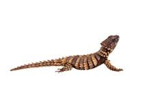 The Armadillo Girdled Lizard O...