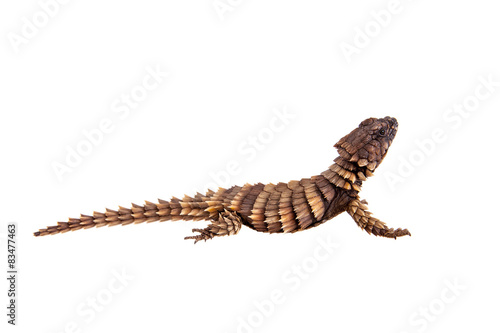 Photo The armadillo girdled lizard on white