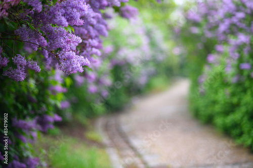 Fotografie, Obraz  Purple lilac blossoms blooming in springtime with beautiful boke