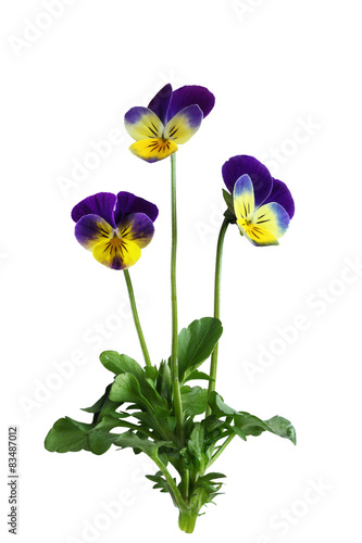 Poster Pansies Pansy Flower Plant