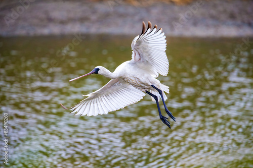 Photo  Black-faced Spoonbill flying - prepare to landing