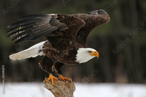 A Bald Eagle (Haliaeetus leucocephalus) taking off..