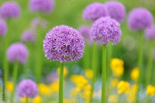 giant purple allium flowers Wallpaper Mural