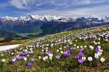 Obraz Krokuswiese bei Interlaken mit Berner Alpen