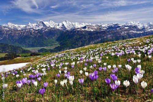 Krokuswiese bei Interlaken mit Berner Alpen - 83507223
