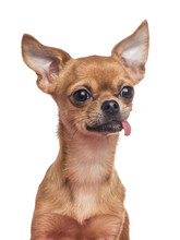 Chihuahua Portrait Sticking Its Tongue Out
