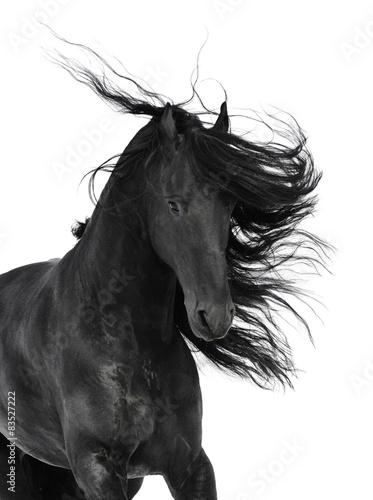 Friesian black horse isolated on the white Fototapete