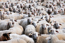 Large Flock Of Sheep