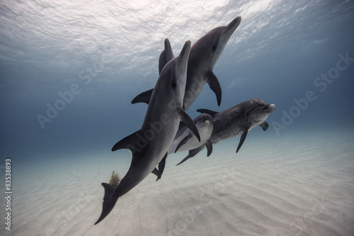 Bahamas, Tiger Beach, Pod of dolphins swimming above ocean floor