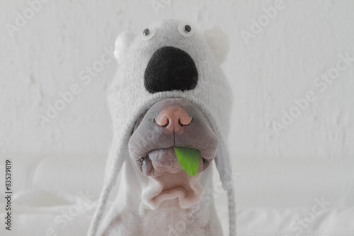 Shar pei dog dressed up in koala costume with leaf in mouth