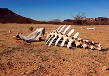 Animal Skeleton In The Desert, Harquahala, Arizona, USA