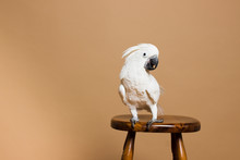 Portrait Of A White Crested Cockatoo