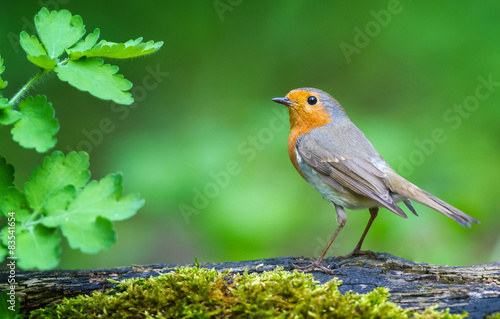 Photo  Robin