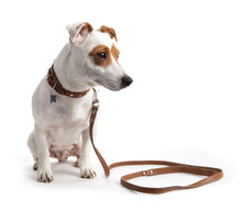 Jack Russell Terrier Dog Sitti...