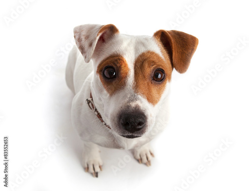 Photo  Jack Russell terrier dog sitting and looking