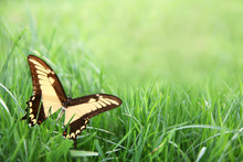 Yellow Butterfly In Green Grass Background