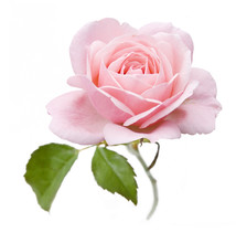 Rose Closeup Isolated On White Background