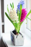 Beautiful hyacinth on windowsill