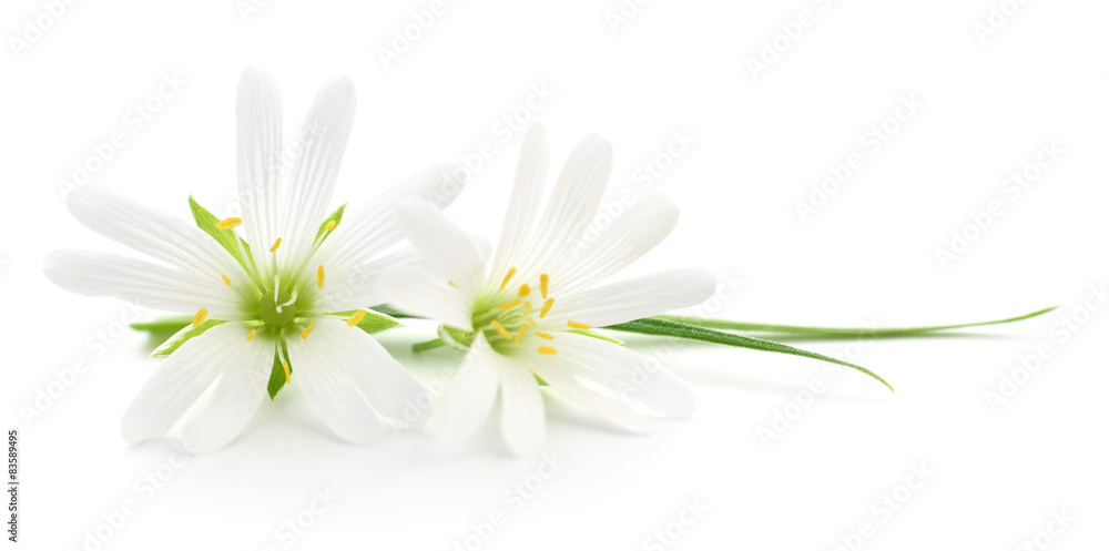 Fototapeta White flowers