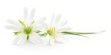 Fototapeta Kwiaty - White flowers