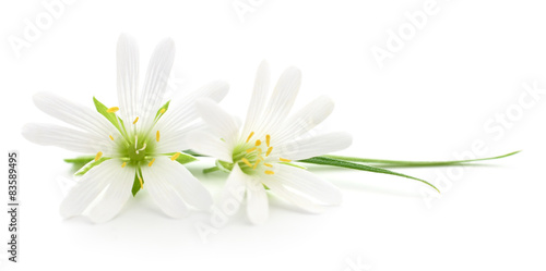 Fotografia White flowers