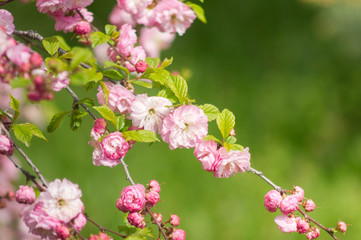 Obraz na Szklepink cherry blossoms in spring park