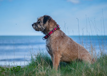 Border Terrier Dog