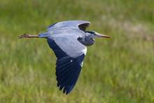 Grey Heron During Flight