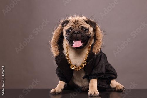 Valokuva  Pug Dog