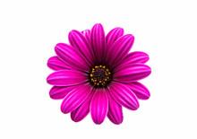 A Violet Pink Osteosperumum Fl...