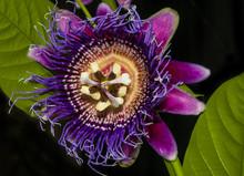 Passion Flower Closeup