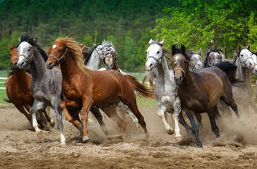 Arabian horses gallop